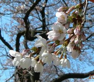 Sakura_320
